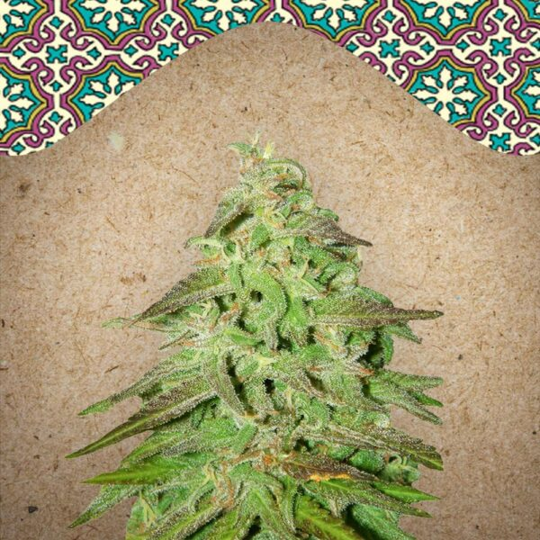 Maroc fem Female Seeds