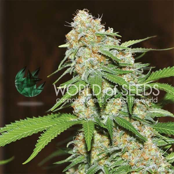 Mazar x White Rhino fem di World of Seeds
