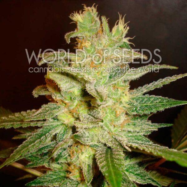 Northern Light x Big Bud fem World of Seeds