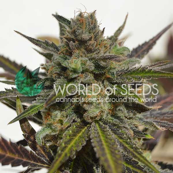 Northern Light x Skunk fem World of Seeds