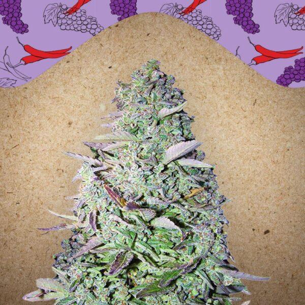 Purple Maroc fem Female Seeds