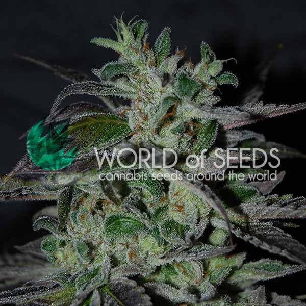Strawberry Blue fast version World of Seeds