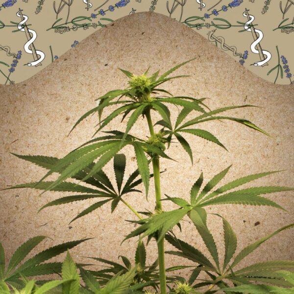 CBD Terra Italia fem Female Seeds