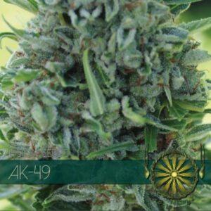 Ak 49 fem Vision Seeds