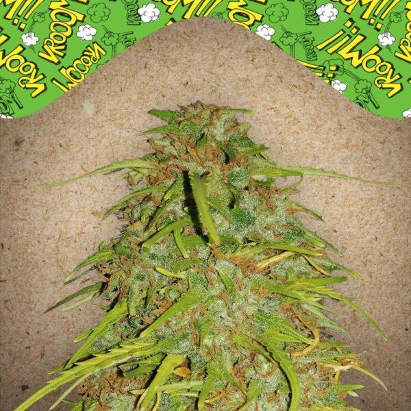 Speed Bud auto Female Seeds
