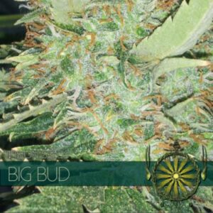 Big Bud fem Vision Seeds
