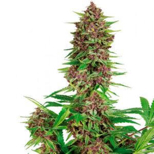 purple kush fem buddha seeds