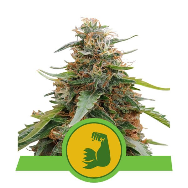 HulkBerry auto Royal Queen Seeds