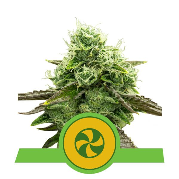 Sweet ZZ auto Royal Queen Seeds