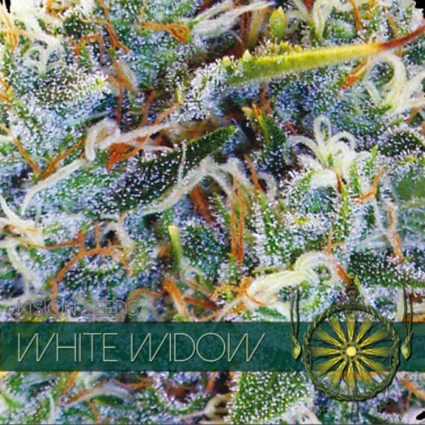 White Widow fem Vision Seeds