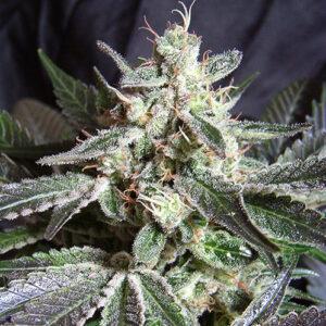 black jack sweet seeds