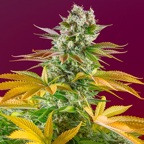 gorilla girl fast version sweet seeds campo di canapa