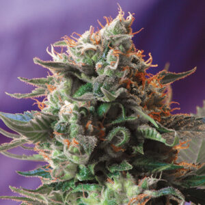 jack 47 sweet seeds campo di canapa