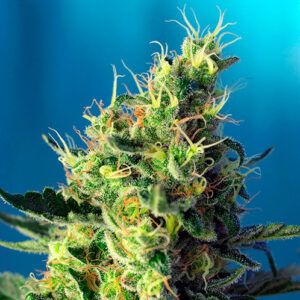 sweet pure cbd sweet seeds campo di canapa