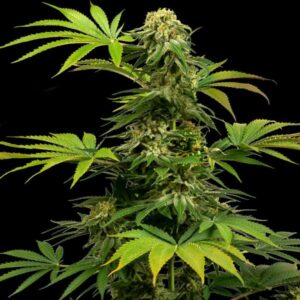 Black Harlequin CBD fem Sensi Seeds