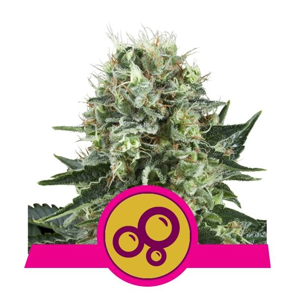Bubble Kush fem Royal Queen Seeds