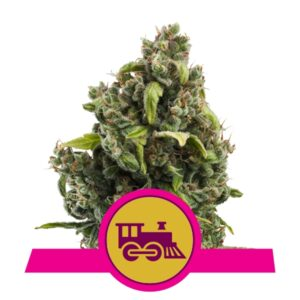 Candy Kush Express fast flowering Royal Queen Seeds