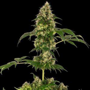Cobalt Haze fem Sensi Seeds