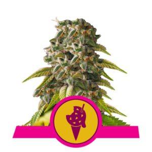 Cookie Gelato fem Royal Queen Seeds