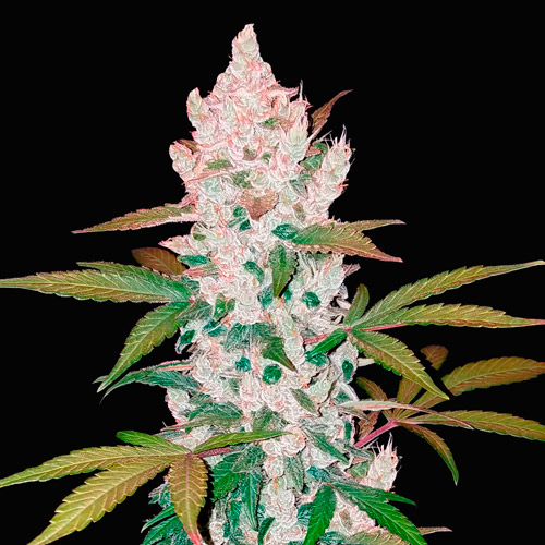 Girl scout cookies fast buds campo di canapa