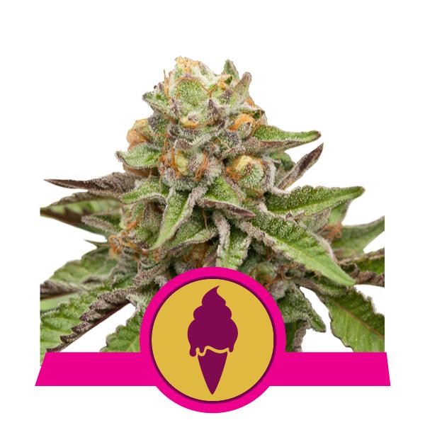 Green Gelato fem Royal Queen Seeds