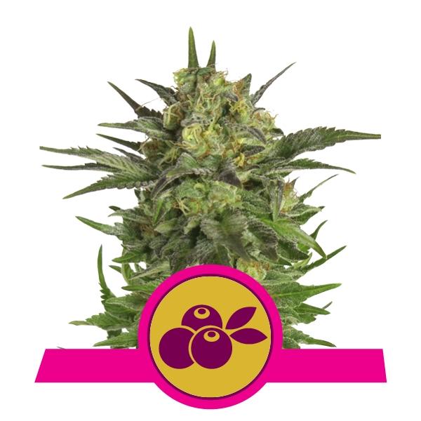 Haze Berry fem Royal Queen Seeds
