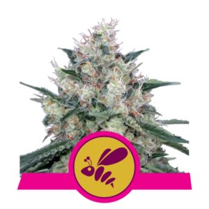 Honey Cream fast flowering Royal Queen Seeds
