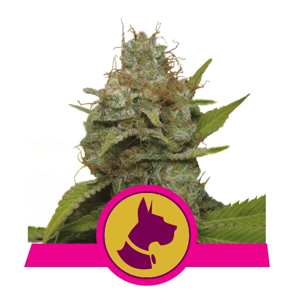 Kali Dog fem Royal Queen Seeds