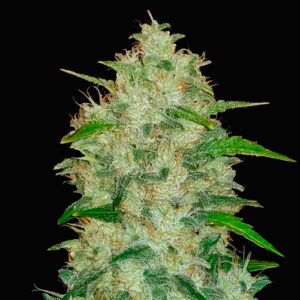 chemdawg fast buds campo di canapa