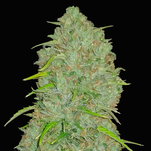 jack herer auto fast buds campo di canapa