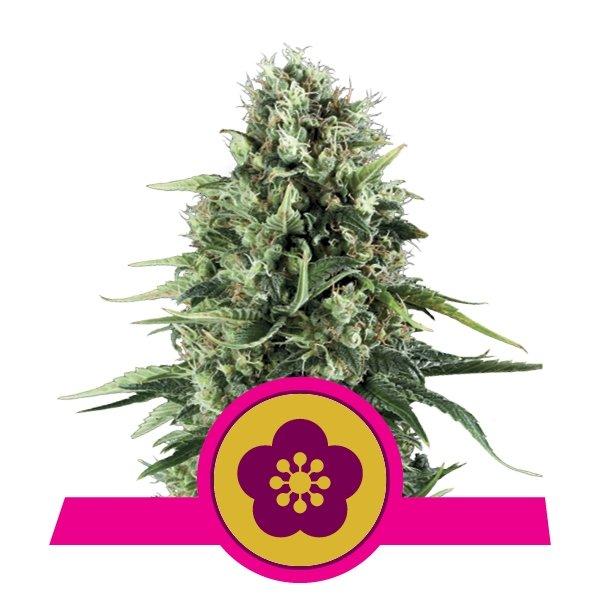 Power Flower fem Royal Queen Seeds
