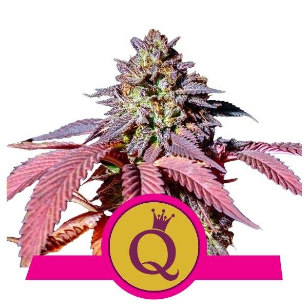 Purple Queen Seeds