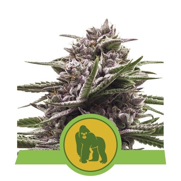 Gorilla auto Royal Queen Seeds