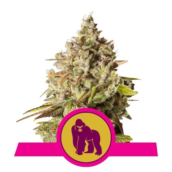 Royal Gorilla fem Royal Queen Seeds