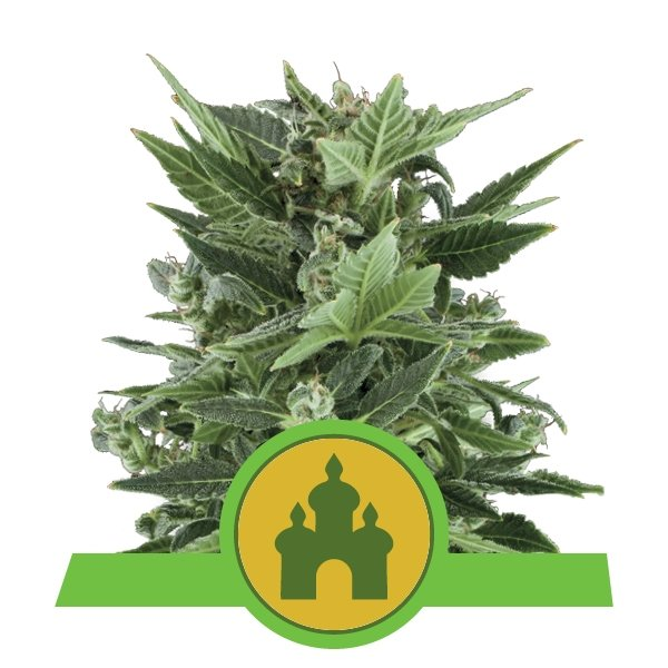 Royal Kush auto Royal Queen Seeds