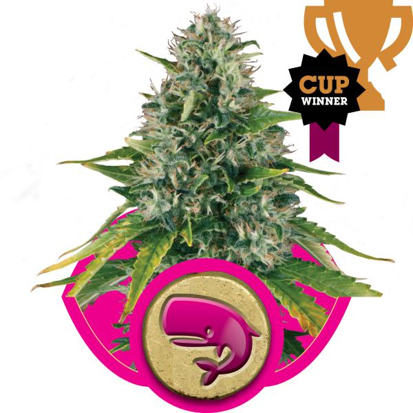 Royal Moby fem Royal Queen Seeds