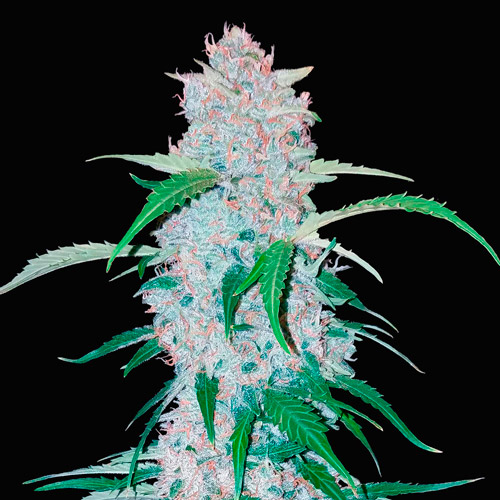 six shooter auto fast buds campo di canapa