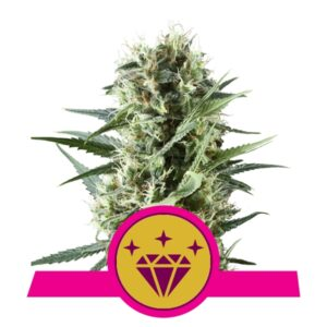 Special Kush #1 fem Royal Queen Seeds