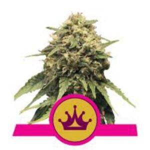 Special Queen #1 fem Royal Queen Seeds
