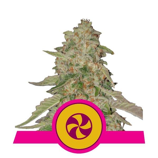 Sweet ZZ fem Royal Queen Seeds