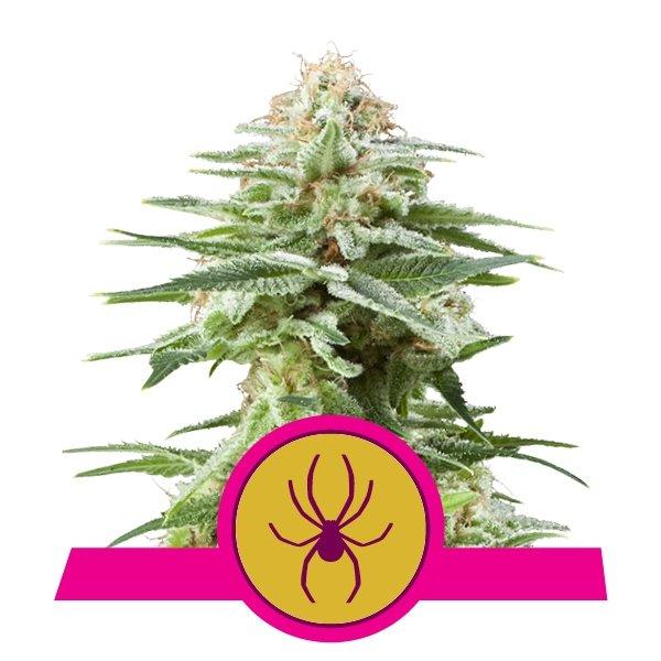 White Widow fem Royal Queen Seeds