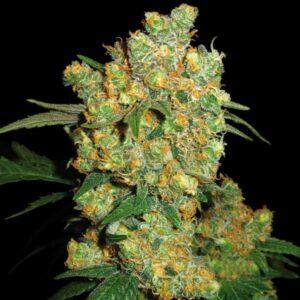 Big Bud fem Sensi Seeds