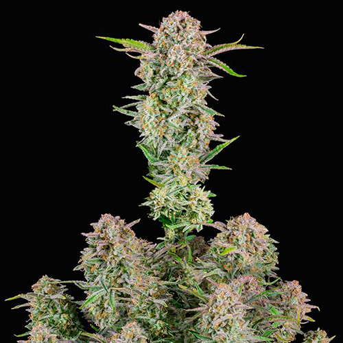 bruce banner fast buds
