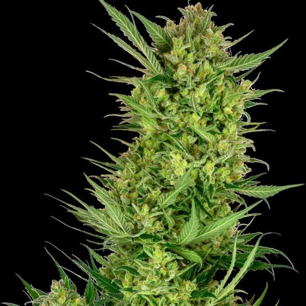 Buttercream Gelato fem Sensi Seeds