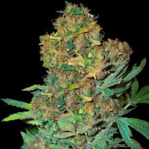 Colombian Sweet fem Vip Seeds