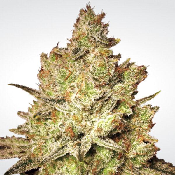 Jacky White fem Paradise Seeds