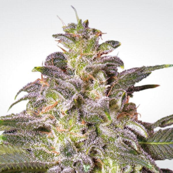 Magic Bud fem Paradise Seeds