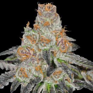 Sweet Girl Cookis fem Vip Seeds