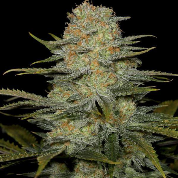 Amnesia CBD fem Dinafem Seeds