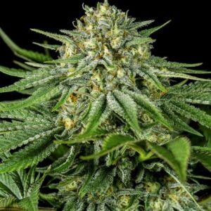 Bubba Kush CBD fem Dinafem Seeds